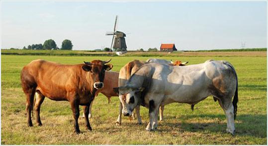 Koeien en stier